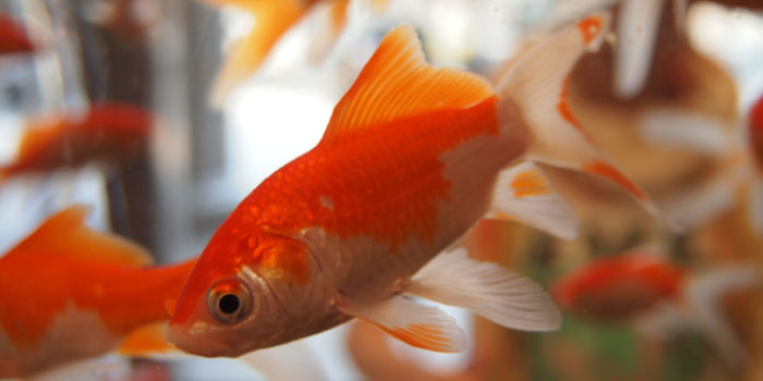 Closeup of a goldfish in a fishbowl
