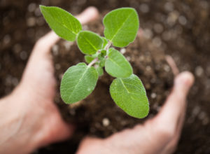 Hands holding a growing plant in soil