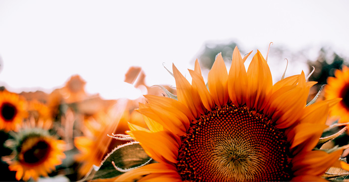 Sunflowers in the light